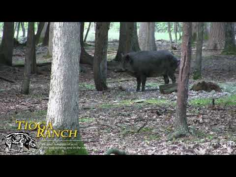 Bow Hunting - Trophy Russian Boar Hunting In PA | Tioga Ranch