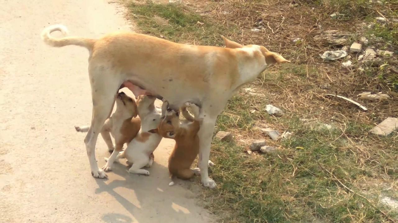 How Female Dog Feeding Puppies Mother Dog Feeding Puppy Youtube