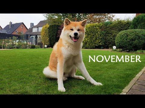 Akita Inu - November Story (秋田犬)