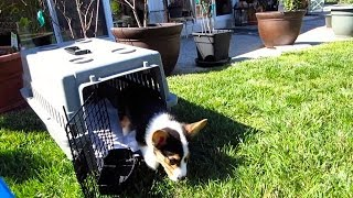 CORGI PUPPY EXPERIENCES THE WORLD - Life After College: Ep. 325 thumbnail