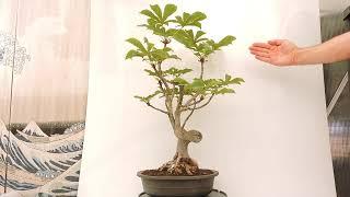 Arbol aesculus hippocastanum