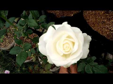 Teknik Pemotongan Bunga Mawar