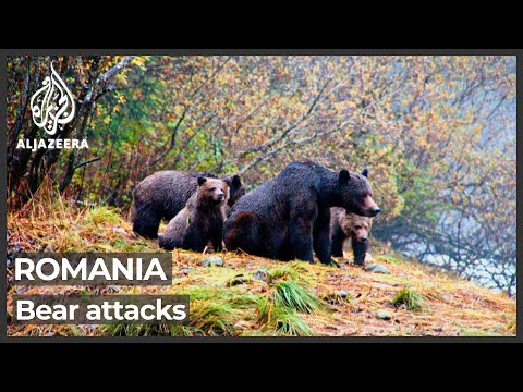 Romania bear attacks: Government not ruling out return to hunting