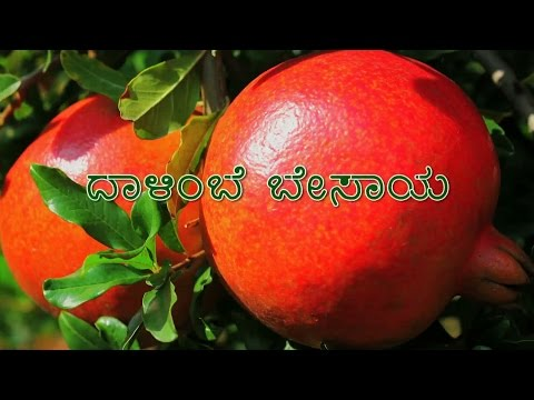 Pomegranate Cultivation - Kannada