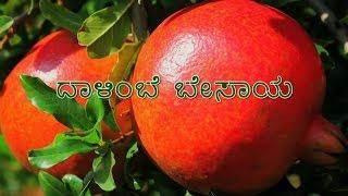 Pomegranate Cultivation - Kannada