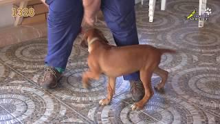 Тина-трейдинг, тестирование щенка, риджбек, клеймо 1328
