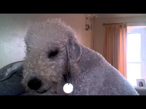 Bedlington Terrier Barking