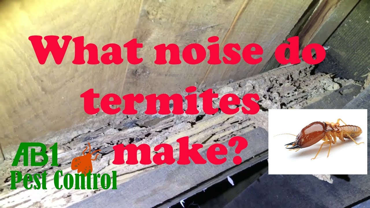 What Do Termites Sound Like Youtube