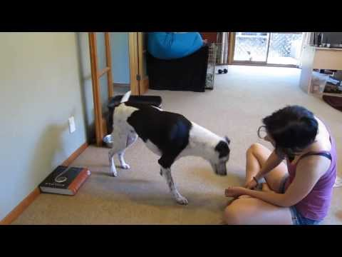 How to teach a dog to handstand: Part 1