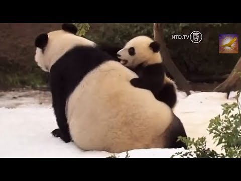 When Panda Met Snow for the First Time in Their Life: Cute Panda Cubs Having a Ball with Mommy