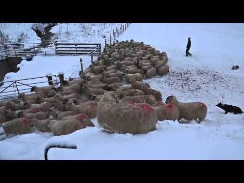SHEEP DOGS AT WORK IN THE SNOW