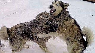 ВСТРЕЧА! Овчарка кавказская против маламута аляскинского и хаски / sheepdog  gorpo