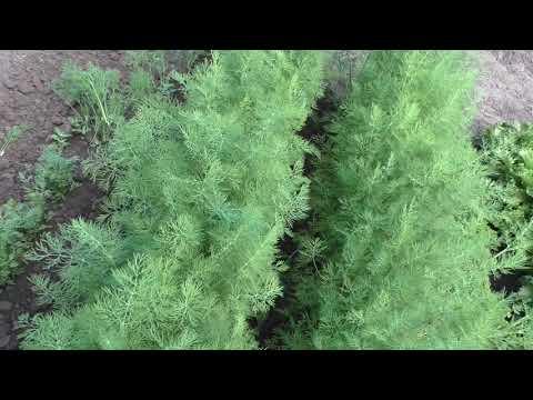 Итоги выращивания на моем огороде трех сортов укропа