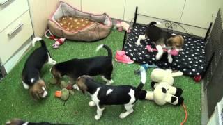 Little Rascals Uk Breeders New Litter Of Beagle Babies