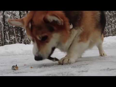 Amazing dog Tricks! ~by Elvis the Corgi~