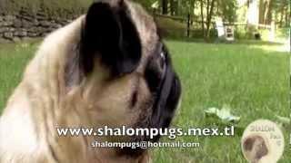Pug Todo Sobre La Raza - Animal Planet