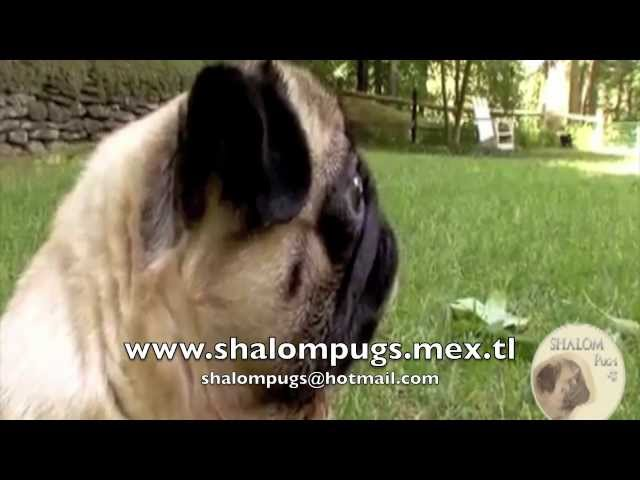 Pug todo sobre la raza - Animal planet Videos De Viajes