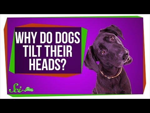Why Do Dogs Tilt Their Heads?