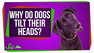 Why Do Dogs Tilt Their Heads?