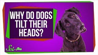 犬が首をかしげるのはなぜ? かわいい仕草に込められた秘密
