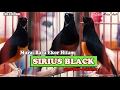 Suara Burung Murai Batu Jawara Sirius Black Taklukan st Anniversary Citra Raya Kota Berkicau  Mp3 - Mp4 Download