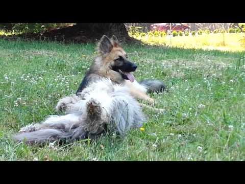 German Shepherd & Bearded Collie love