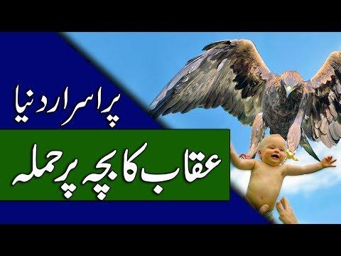 Eagle Attack Videos - Mysterious Birds - Urdu Documentary - Purisrar Dunya
