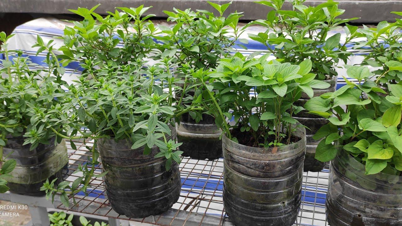 Tận dụng bình 5lit trồng các loại Rau Thơm , tiện lợi , cần là có rau ngay | Khoa Hien 375