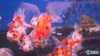 Крупные ситцевые риукины (золотые рыбки) - продажа в Петербурге