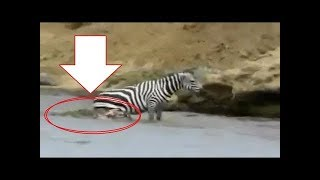 Download Video BUSETT!! Zebra Dimakan Hidup Hidup Oleh Buaya Liar MP3 3GP MP4