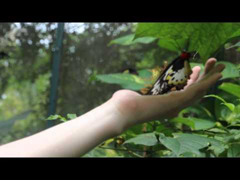 Ornithoptera Priamus On My Hand / Держу На Руке Бабочку Птицекрыл Приам