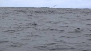 Albatros - Ballet dans les mers du sud - Hiver 2014