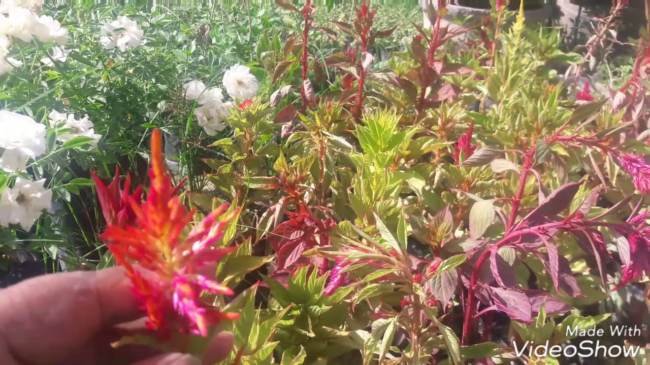 How To Grow Care Celosia Flower Plants Hindi Youtube