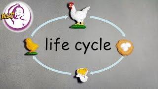 認識雞的生命週期