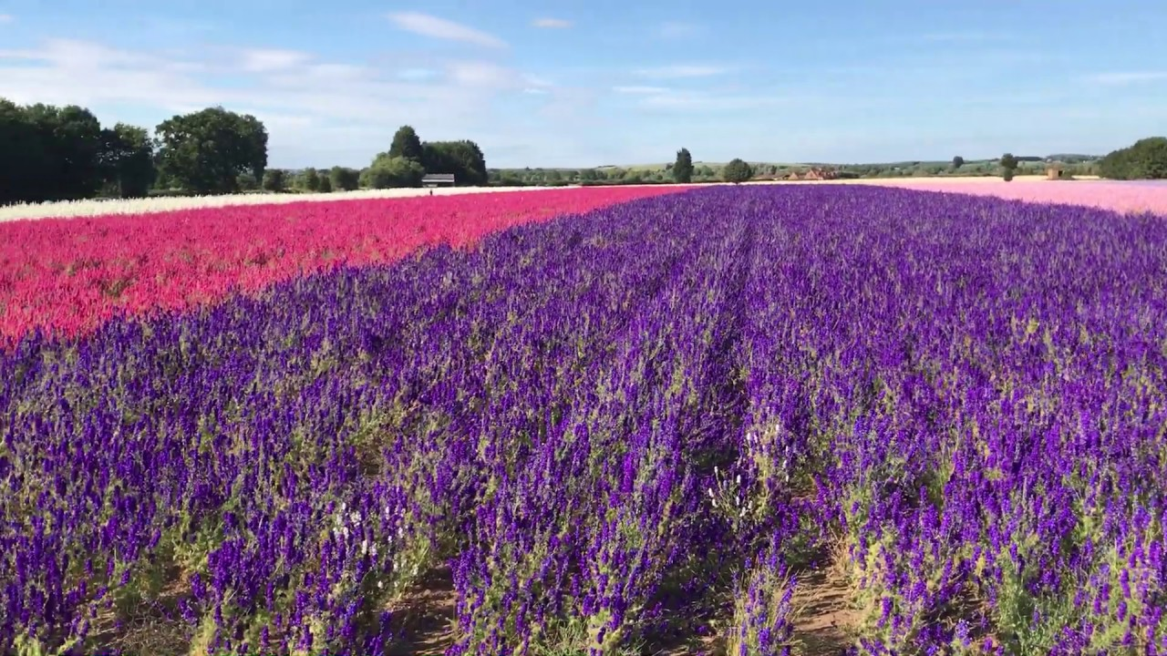 Confetti Flower Field at Wick, Pershore, Worcestershire - delphiniums