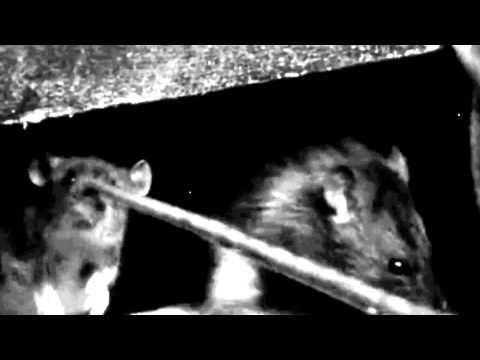 KAMPFAR  Swarm Norvegicus
