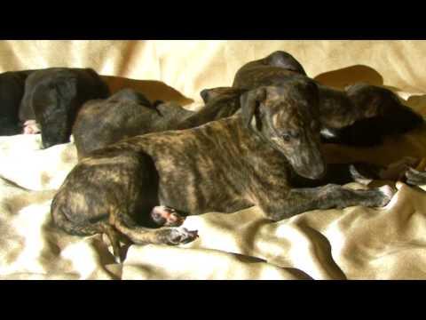 Щенки породы грейхаунд Greyhound Puppies (with Eng Subtitles)