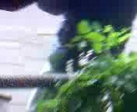 black azz parasuri