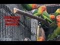 Cerita Awal Mulanya Kenapa Saya Milih Berternak Lovebird Sampe Menghasilakan Jackpot  Mp3 - Mp4 Download
