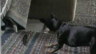 Min Pin Vs Feather