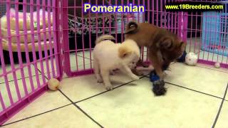 Pomeranian, Puppies, For, Sale, In, Kansas City, Missouri, Mo, Ballwin, Wentzville, University City,