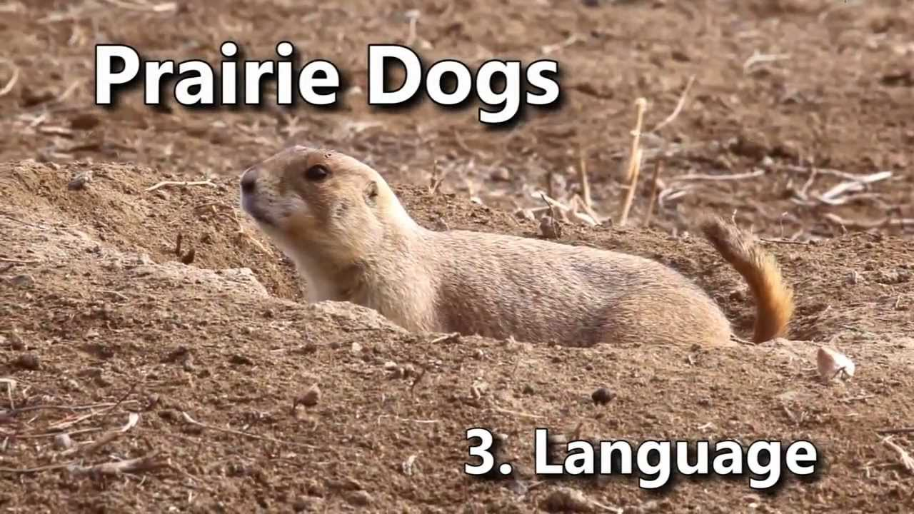 Prairie Dogs: America's Meerkats - Language