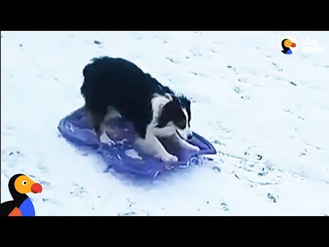 Smart Dog Takes Herself Sledding | The Dodo
