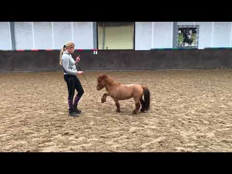 Little training with the miniature Horses surprise and Oepsie