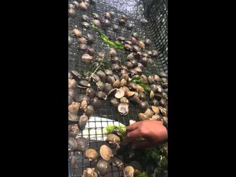 Rappahannock Oyster Company revives Chesapeake scallops