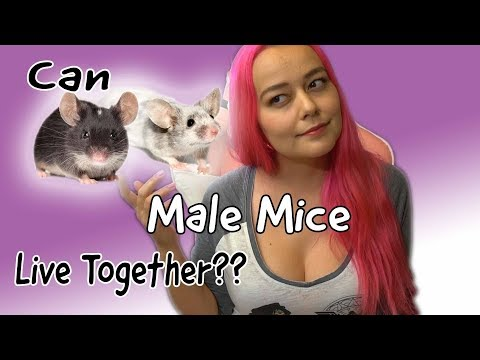 Can Male Mice Live Together? | Research Vs Experience