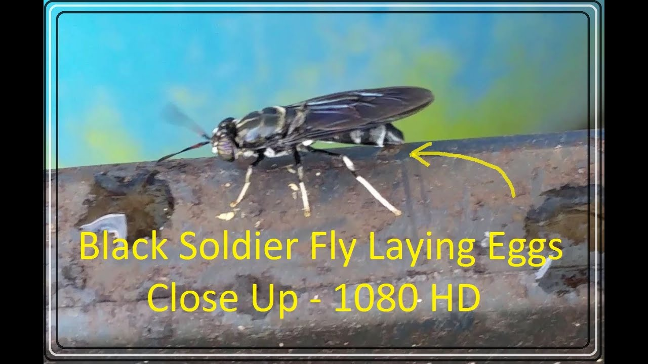 black soldier fly laying eggs beautiful hermetia illucens close up