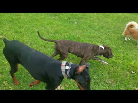 6 month old Doberman Pinscher puppy Bella | Houston dog training
