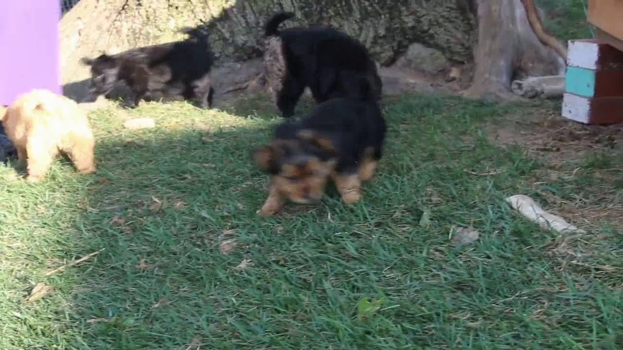 Yorkie Mix Puppies For Sale Youtube