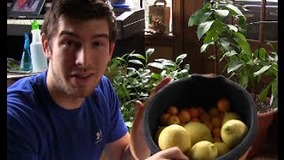 Huge Indoor Citrus Harvest In Michigan! | MIgardener